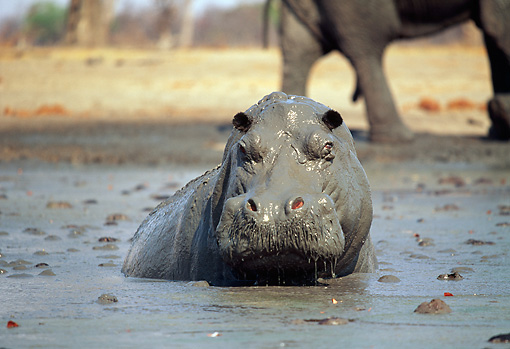 Hippo in mud