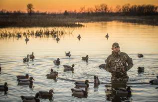 Wild swimming - ducks