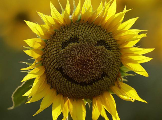 Happiness sunflower